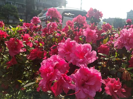 路边的杜鹃花红得真艳丽