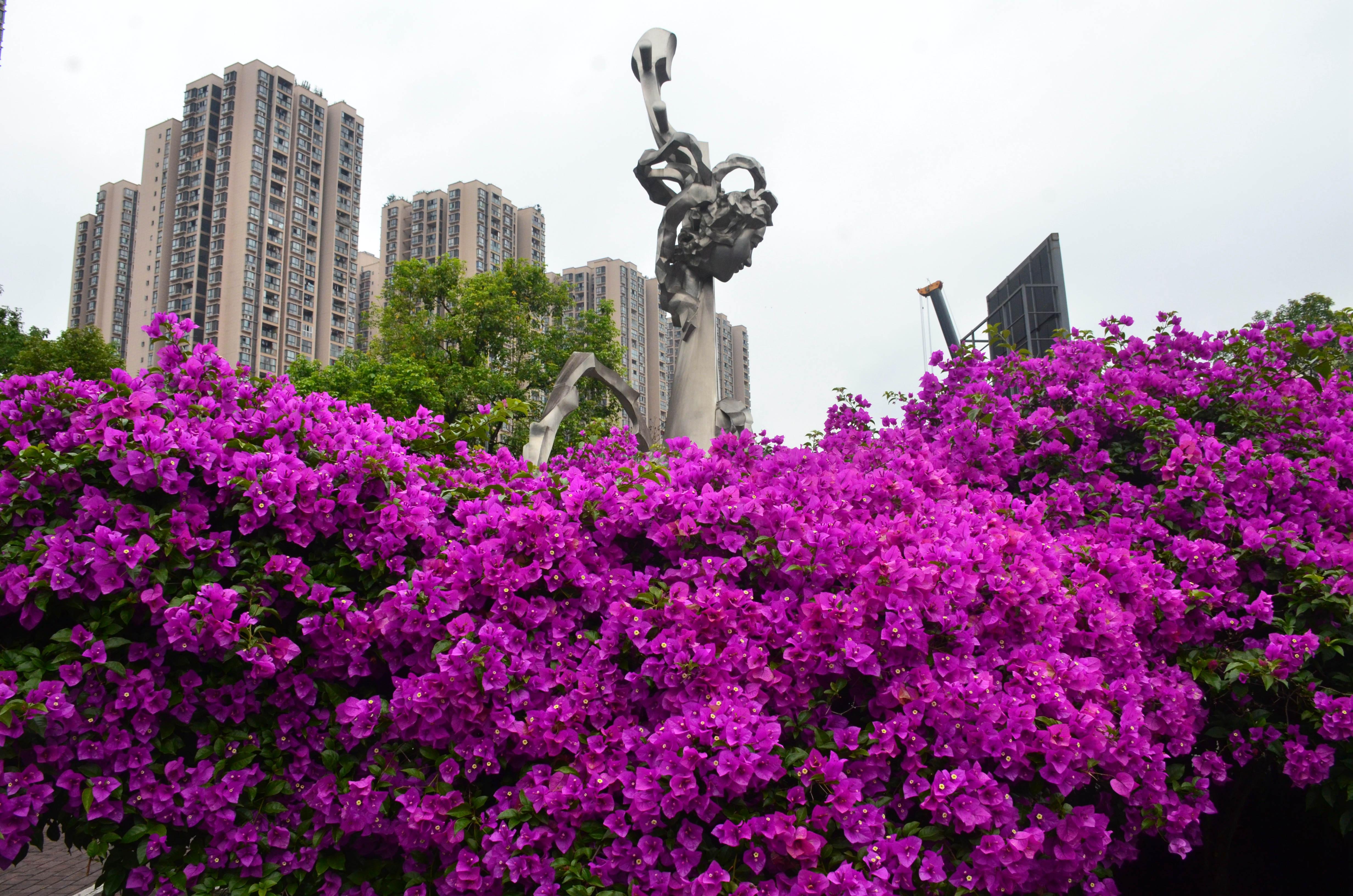 重庆大渡口:盛放的三角梅  醉美的义渡城