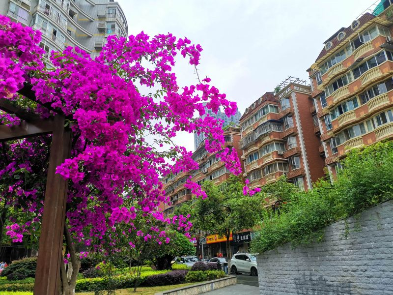九宫庙步行街附近的三角梅,墙头花色好风景。(摄影:黄向辉)