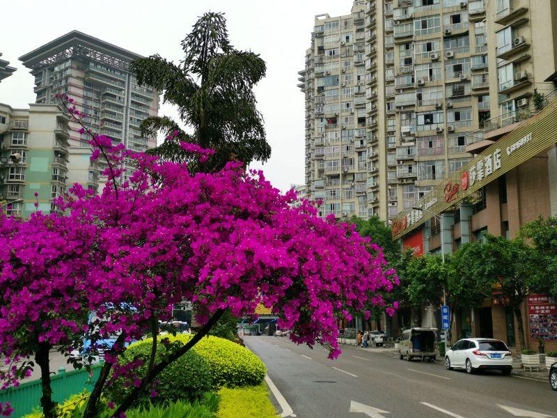 重庆市大渡口区香港城附近绿化带的三角梅,一袭紫红招人眼。(摄影:黄向辉)