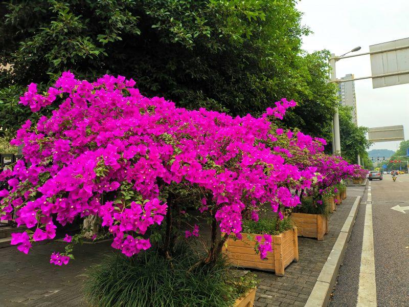 柏华街税务局门口的三角梅,潇洒红梅作花衣。(摄影:黄向辉)