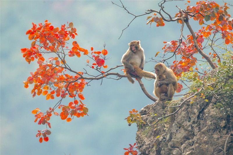 """""""三峡红叶、巫山脆李、小三峡猕猴是巫山的三大生态宝贝。""""图为三峡红叶和小三峡猕猴。陈光国 摄"""