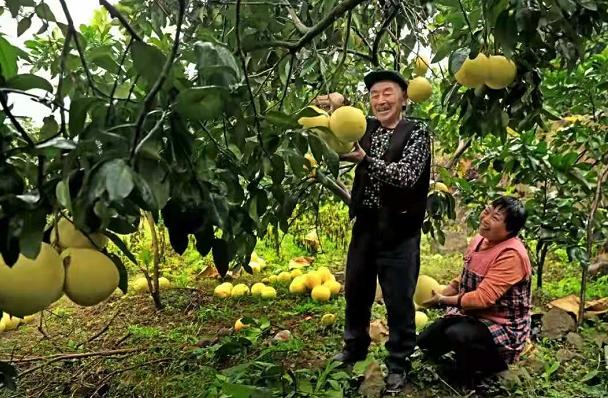 """重庆巫溪:""""柚""""是一年丰盈季"""