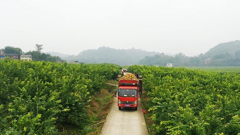 重庆铜梁:2000亩柠檬大丰收