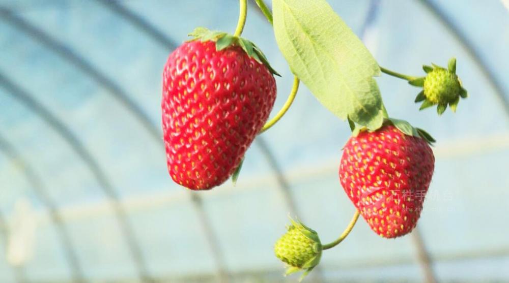 石柱:春日采摘草莓  享受田园时光