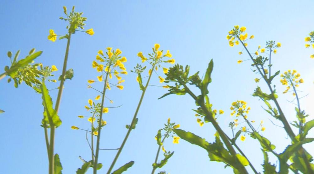 三河镇200多亩油菜花即将进入盛花期