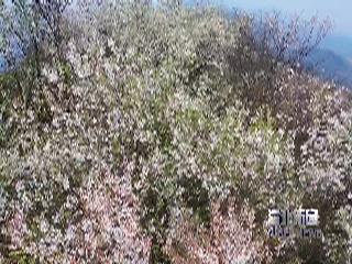大盛:万亩野樱花迎春怒放