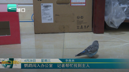 鹦鹉闯入办公室  记者帮忙找到主人