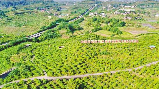 【沿着高速看中国·重庆】建设智慧果园 延伸产业链条 百里柑橘长廊成为忠县新名片