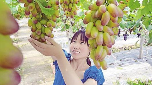 荣昌:乡村振兴致富路 葡萄甜蜜更幸福