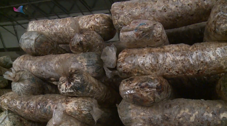 反季节香菇栽培技术——通风管理