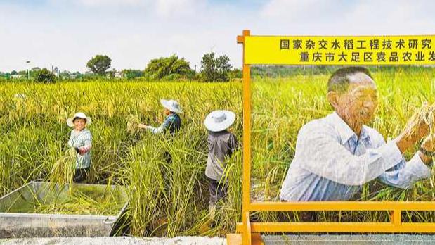 重庆巨型稻首次收割 测产亩产近500公斤